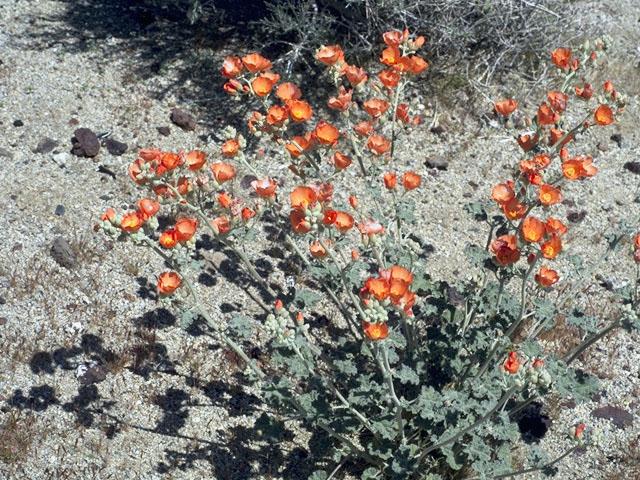Sphaeralcea Ambigua or Mallow