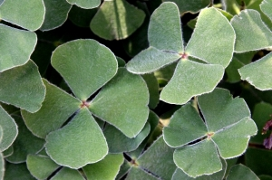 1381213_four_leaf_clovers